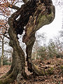 Ancient tree (6958292134).jpg