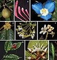 Angiospermas endêmicas das florestas costeiras da Bahia.jpg