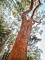 Angophora costata in West Head.jpg