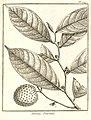 Annona punctata Aublet 1775 pl 247.jpg