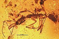 Anochetus intermedius BMNHP-II33 01.jpg