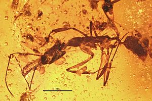 Dominican amber - Anochetus intermedius, an ant
