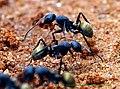 Ant goldenabd sal.jpg