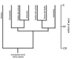 Cladograma que muestra las relaciones de parentesco entre los principales grupos humanos, basado en datos genéticos