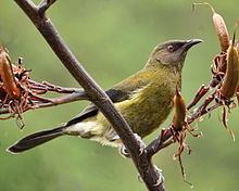 Anthornis melanura -New Zealand-8.jpg