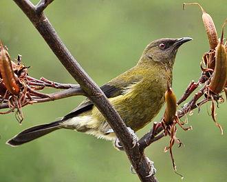 New Zealand bellbird - In New Zealand