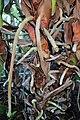 Anthurium andraeanum kz03.jpg