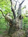 Antica quercia.JPG