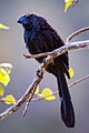Anu-preto (Crotophaga ani) - Smooth-billed Ani.jpg