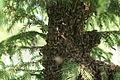Apis mellifera swarm in Belarus 02.JPG