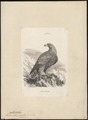 Aquila chrysaëtos - 1851-1876 - Print - Iconographia Zoologica - Special Collections University of Amsterdam - UBA01 IZ18100167.tif