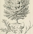 Arboretum et fruticetum britannicum; or, The trees and shrubs of Britain, native and foreign, hardy and half-hardy, pictorially and botanically delineated, and scientifically and popularly described; (14780925201).jpg