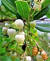 Arbutus unedo. Borrachinal (flores).jpg