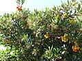 Arbutus unedo FruitsandFlowersCloseup 2009November15 SierraMadrona.jpg