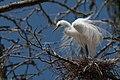 Ardea alba -Morro Bay Heron Rookery -8d.jpg