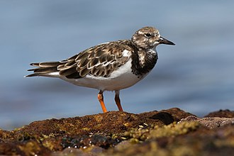 Ruddy turnstone - Adult in non-breeding plumage