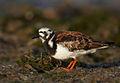 Arenaria interpres vogelartinfo chris romeiks CHR2896.jpg