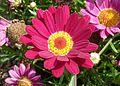 Argyranthemum frutescens J1.jpg