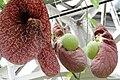 Aristolochia gigantea pm.jpg