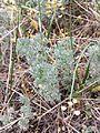 Artemisia austriaca sl1.jpg