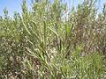 Artemisia tripartita (5802264693).jpg