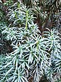 Asterales - Artemisia dracunculus - 3.jpg
