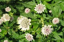 Astrantia major 1.jpg
