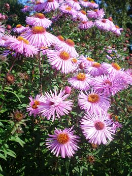 Astros (Aster)