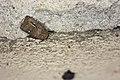 Athetis brunneolineosa (36898137872).jpg