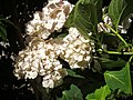 Atlas roslin pl Hortensja ogrodowa 1190 7167.jpg