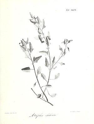 Atriplex chilensis Colla.jpg