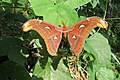 Attacus atlas - Atlas moth - at Peravoor (15).jpg