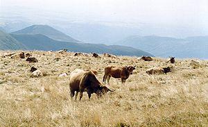 Cantal - Aubrac Cows on the Plomb du Cantal
