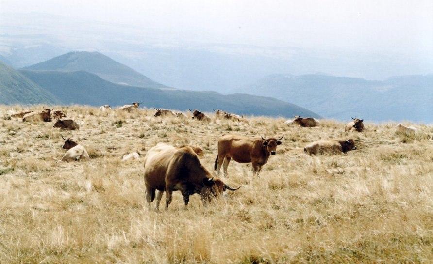 Aubrac Cows on the Plomb du Cantal