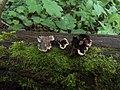 Auricularia mesenterica 33182951.jpg