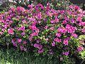 Azalea flowers 20170418.jpg