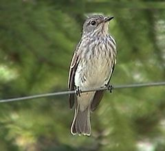 BG-spotted-flycatcher-2.jpg