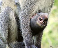 Baby monkey hanging onto its mother (Saadani National Park, Tanzania, 2008).jpg