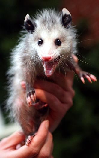 Opossum - Juvenile opossum hissing defensively.