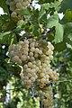 Bacchus Grapes.jpg
