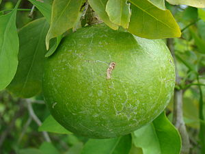 A mature but unripe fruit hanging from a Bael ...