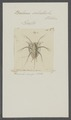 Balanus sulcatus - - Print - Iconographia Zoologica - Special Collections University of Amsterdam - UBAINV0274 101 02 0010.tif