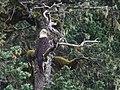 Bald Eagle (20089343070).jpg