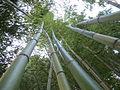 Bambous geant au jardin jungle 3.JPG