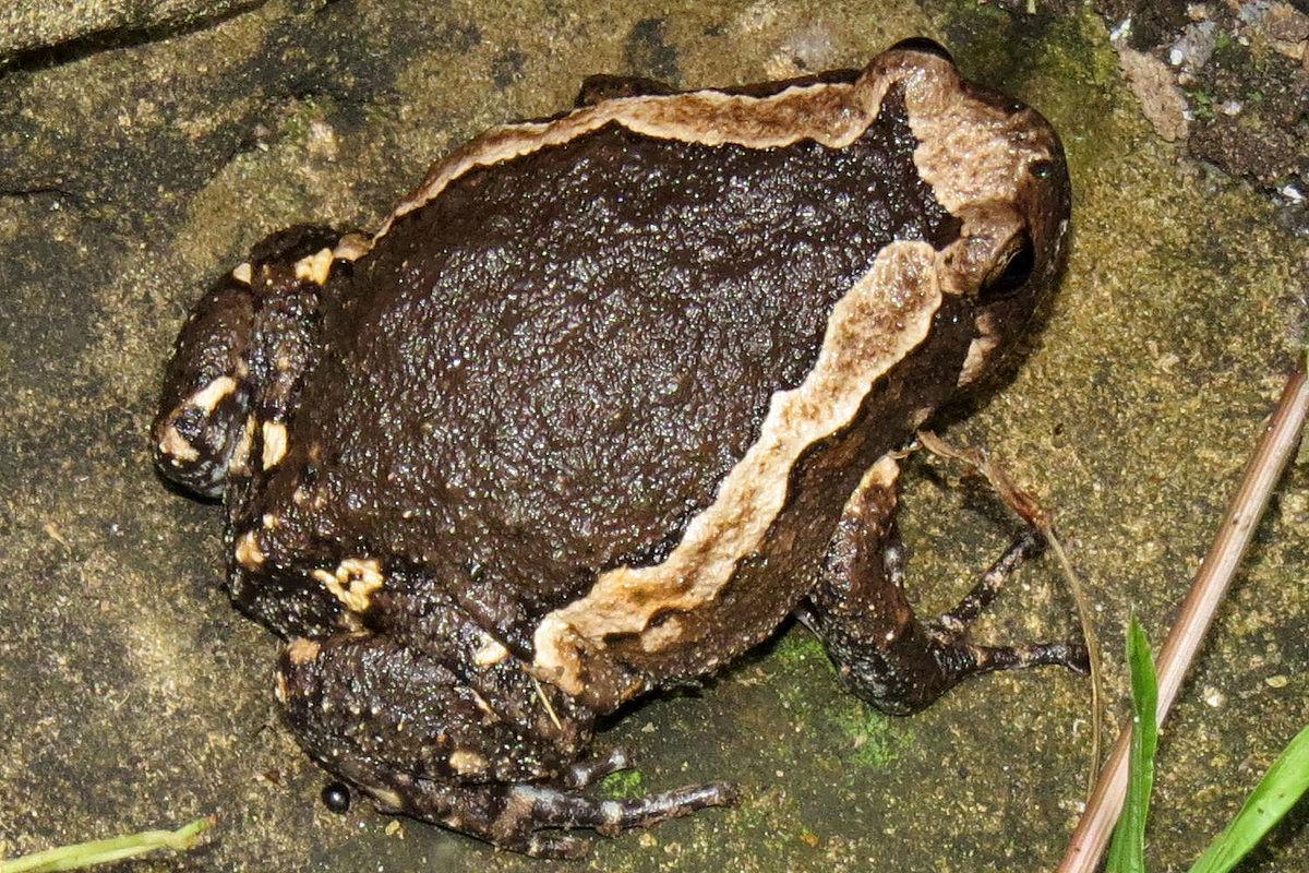 Banded Bullfrog Wikipedia