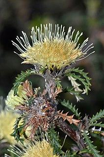 <i>Banksia kippistiana</i> Species of shrub in the genus Banksia