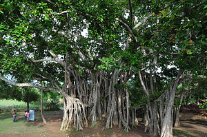 English: Banyan tree in Bharat Vaina, Jessore,...