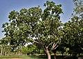 Banyan tree (Ficus benghalensis) in Secunderabad, AP W IMG 6635.jpg