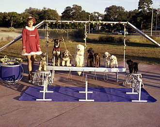 Sarasota High School - Dog act in the Sailor Circus, 1977.