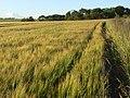Barley, Compton - geograph.org.uk - 876619.jpg